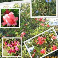 庭の花が・・・ 2017.04.23