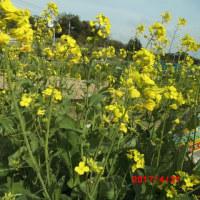 アスッコの花。