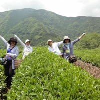 2017 6/10-11 Tea Picking Tour 地域密着型茶摘み+放棄茶畑再生+安倍川源流散策