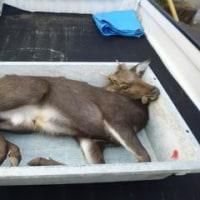 11月2日有害鳥獣捕獲「鹿」