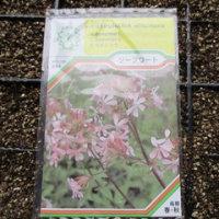 ソープワートの種蒔き