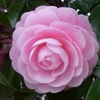 季節の花「乙女椿(おとめつばき)」