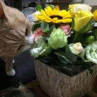 お母ちゃんの誕生日 2016.09.04 CatsDiary 【♀猫こむぎ&♂猫だいずの動画日記】