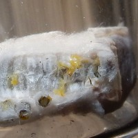 タテハサムライコマユバチが羽化