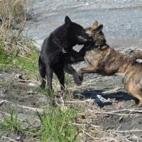 甲斐犬の遊び