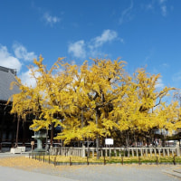 西本願寺大銀杏とトンビ