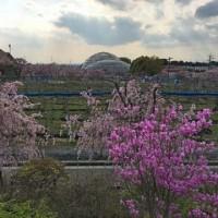 東谷山フルーツパークの枝垂桜