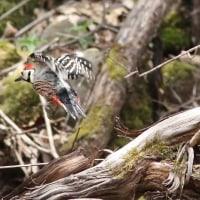 オオアカゲラ, White-backed Woodpecker