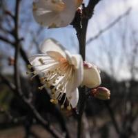 梅、ローバイ、桜、の花