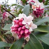 季節の花「沈丁花 (じんちょうげ)」
