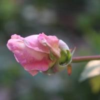 蕾も 美しい。。。薔薇っていったい何者?