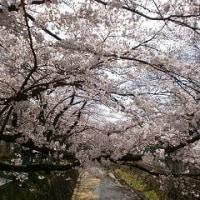 桜をめぐって・・・