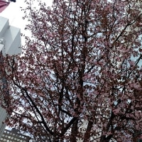 丸井の前の桜