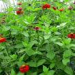百日草に紅シジミ蝶