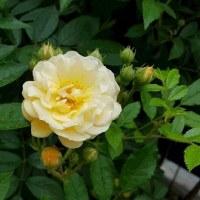 今年のペチュニアとまたまた薔薇