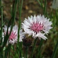 ヤグルマギク(白花)