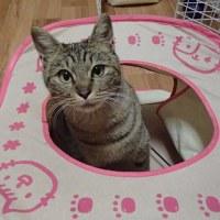 明日3月12日「猫の譲渡会」猫カフェ、ねこちゃるさんにて開催!!