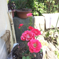 園芸用綿花の苗