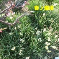 """""""春爛漫""""とは行かぬ(+_+) あ~ぁ~情けなや…(・_・、)"""