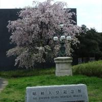 「昭和天皇記念館前の枝垂桜」/昭和記念公園(2017春)