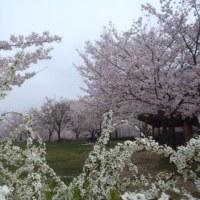 松山総合公園 桜満開