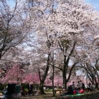 桜咲く 本番