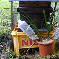 二ホンミツバチの待ち箱。