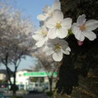 桜と野球と武芸