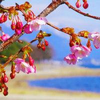 びわ湖大津の桜
