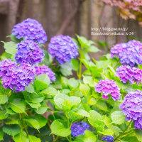 白山神社の雨待ち紫陽花