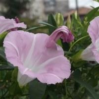 家の雑草が朝顔みたいに咲いてます!綺麗ですね(´∀`*)