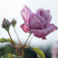 Rain decorates roses so beautiful