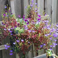 アイリス、ツツジ、ロべりア、白い花たち
