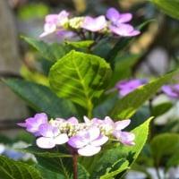 庭の紫陽花