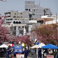 桜新町の八重桜  2017