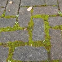 江尾公園の自然:ハマキゴケがコンクリートの隙間を占領しています。