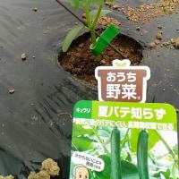 トマト、ナス、キュウリ、パプリカ苗の定植