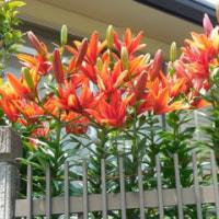 花編(5)今年も咲いた思い出の花菖蒲