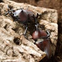 カブトムシの幼虫/ペットショップ昆虫/塩釜市/利府町/松島町