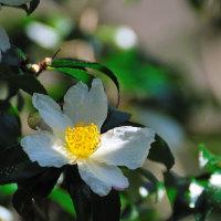 木漏れ日の中の白い山茶花(さざんか)    (Photo No.13860)