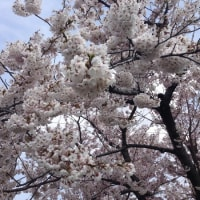 桜、満開です♪