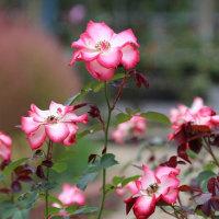 霊山寺のバラ