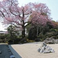 江南市曼荼羅寺の弥陀桜