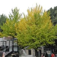 黄葉まだ早し、上野公園