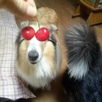 さくらんぼメガネ2017