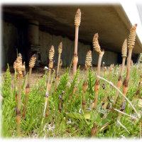 春が来た 春が…(^^♪土の中から「筆」が天を目指して林のごとく 「土筆の坊や」がいっぱい