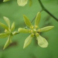 ルイヨウボタンの花