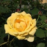 黄バラの代表的な花言葉は「嫉妬」ですが