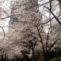 アークヒルズの桜