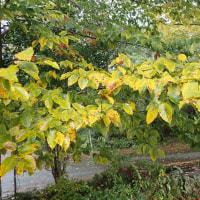 ブナの葉も色づいています。